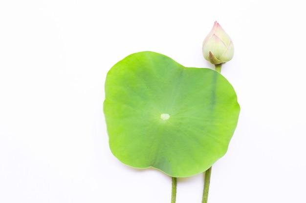 Roze lotusbloembloem met groene bladeren op witte achtergrond.