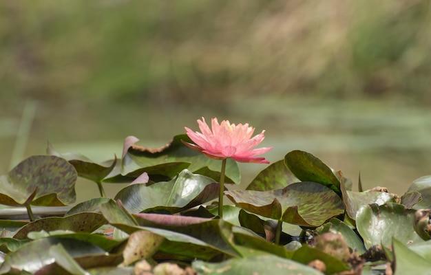 Roze lotusbloembloesems of waterleliebloemen die op vijver bloeien