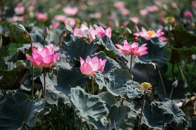 Roze lotusbloemen bloeien