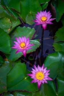 Roze lotusbloemen in de lotusvijver voor landbouw