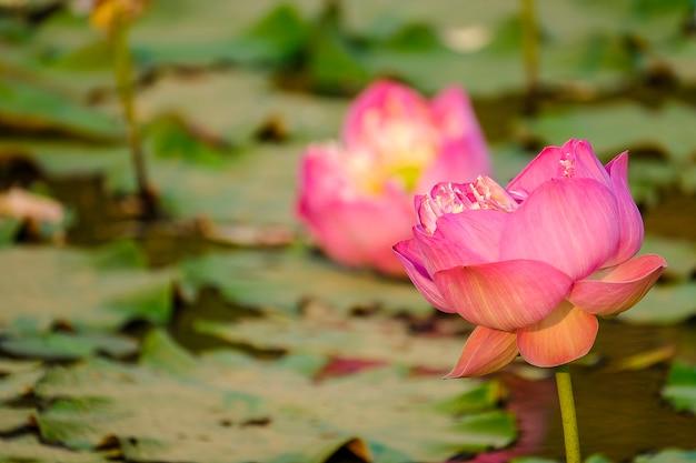 Roze lotusbloemen