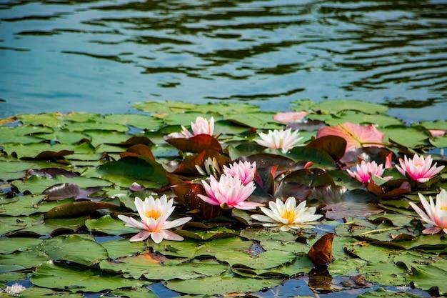 Roze lotussen in helder water.
