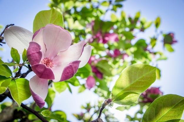 Roze magnolia bloeit