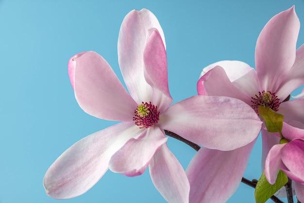 Roze magnolia bloemen op blauwe ondergrond