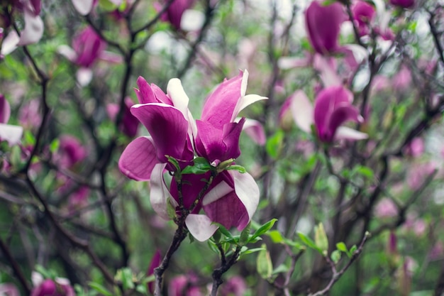 Roze magnolia bloemen op boomtakken