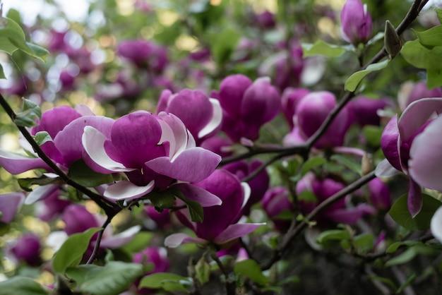 Roze magnolia bloesem boom bloemen