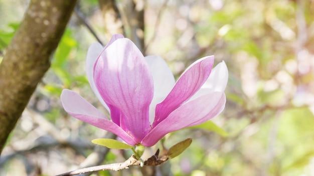 Roze magnoliabloem in een tuin.