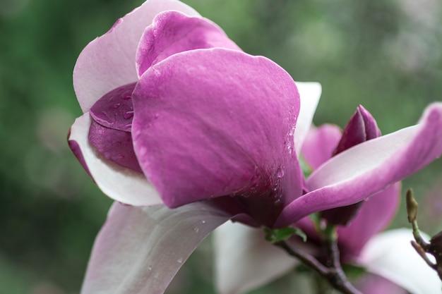 Roze magnoliabloem met stamper en meeldraden op een tak met groene bladeren
