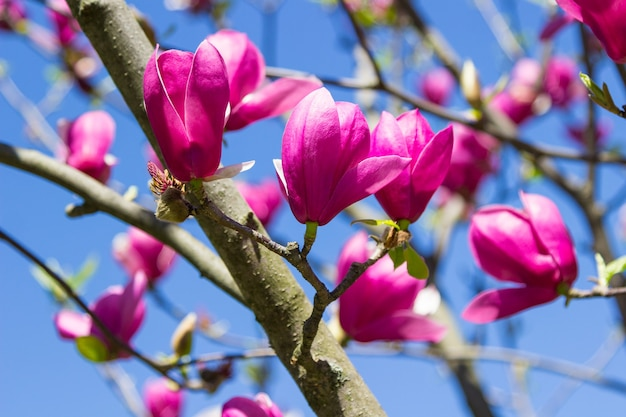 Roze magnoliaknoppen op de takken. blauwe lucht. detailopname