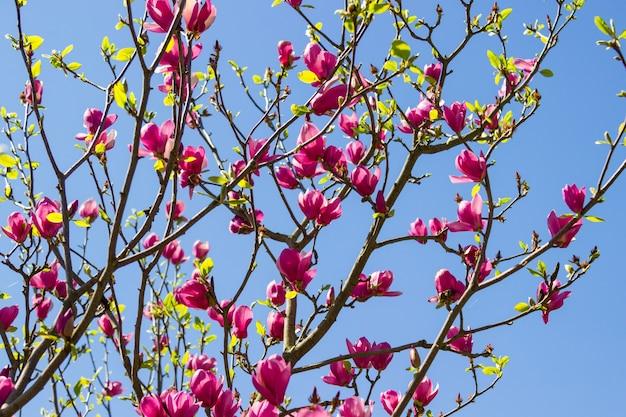 Roze magnoliaknoppen op takken. blauwe lucht.