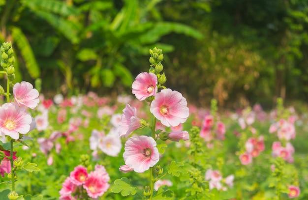 Roze malva-bloemen die in de tuin bloeien.