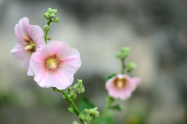 Roze malva silvestris. kaasjeskruid. bloeiende musk kaasjeskruid