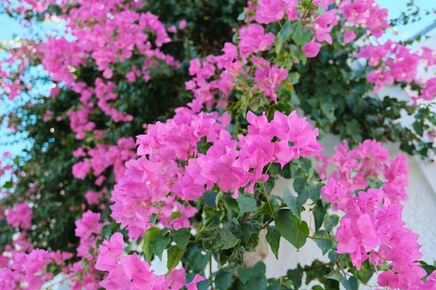 Roze mooie bloemen op een struik, achtergrond, schoonheid, natuur.