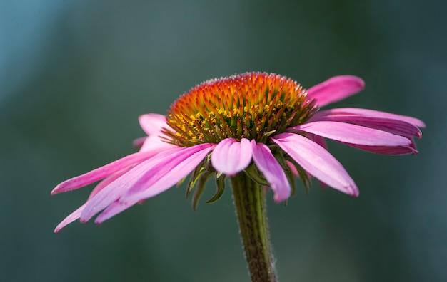 Roze mooie echinacea bloem groeit in de natuur