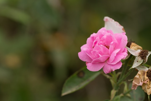 Roze nam in een tuin toe