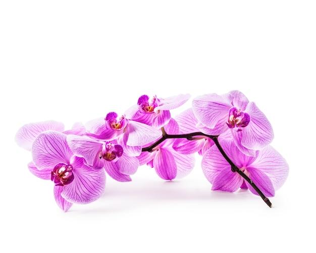 Roze orchidee bloemen geïsoleerd op een witte achtergrond. uitknippad inbegrepen