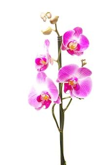 Roze orchidee geïsoleerd op een witte achtergrond
