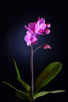 Roze orchidee op zwarte backgorund