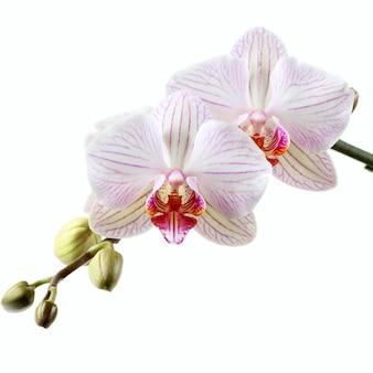 Roze orchidee