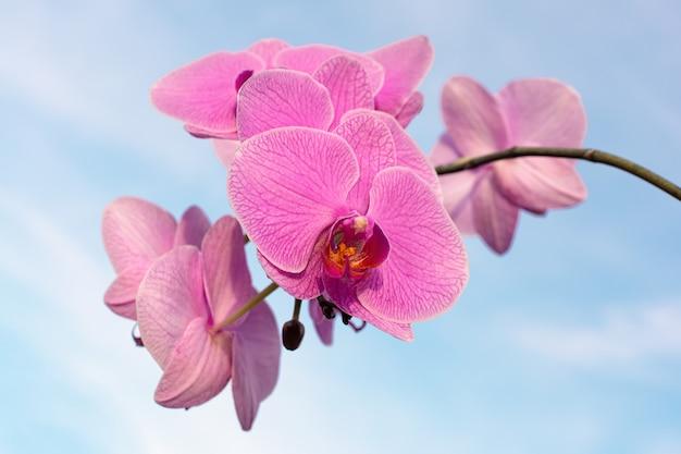 Roze orchideebloem aan de hemel, close-up