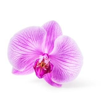 Roze orchideebloem. bloem hoofd. enkel object geïsoleerd op een witte achtergrond uitknippad inbegrepen