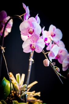 Roze orchideeën bloem