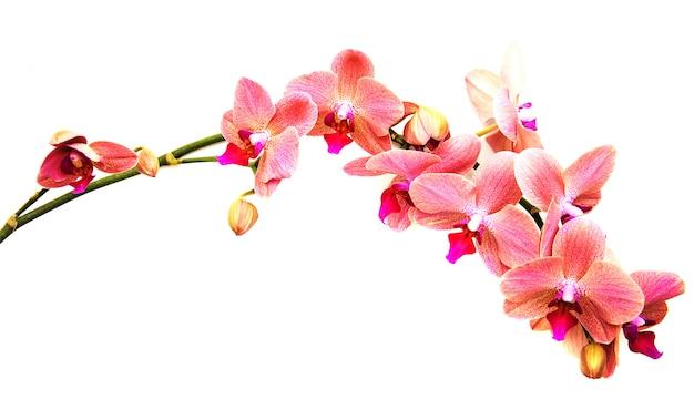 Roze orchideeënbloemen