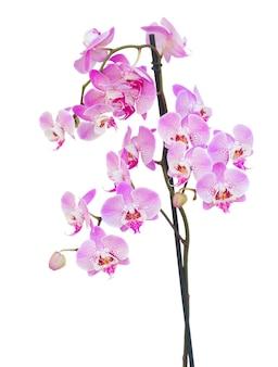 Roze orchideetak die op witte achtergrond wordt geïsoleerd