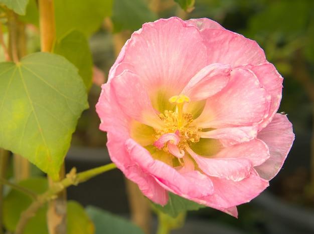 Roze papavers bloeien in een wild veld