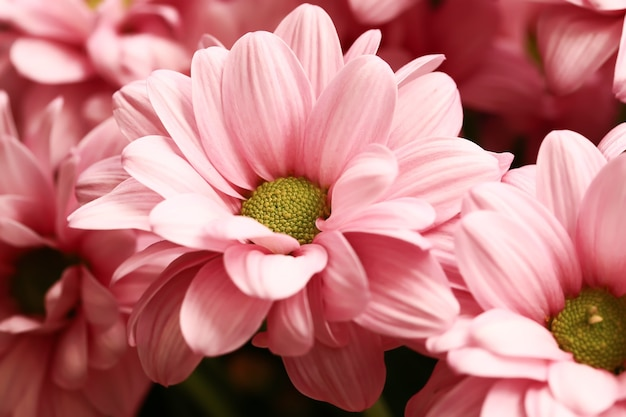 Roze pastel chrysant bloem achtergrond met soft focus