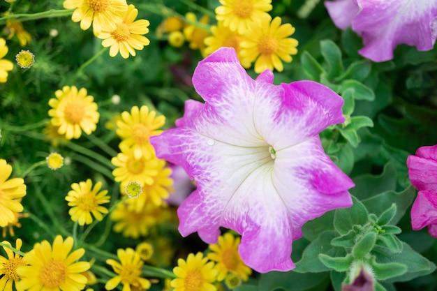 Roze petunia-bloemen en geel madeliefje in de tuin met onduidelijk beeldachtergrond