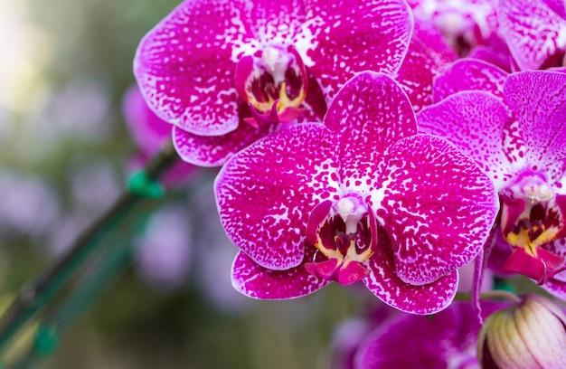 Roze phalaenopsis orchidee bloem