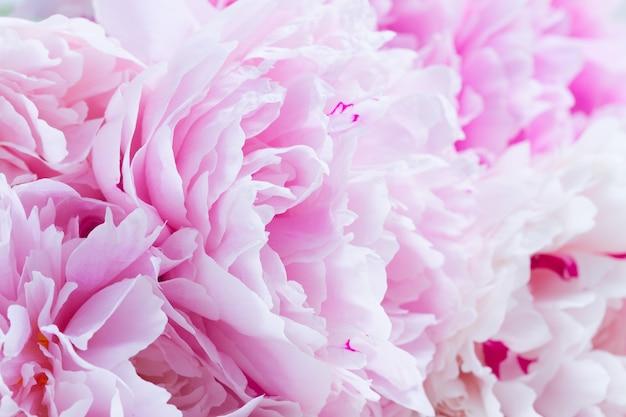 Roze pioen bloemblaadjes achtergrond