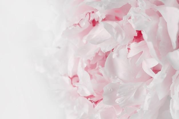 Roze pioen close-up zachte focus. fijne pastel achtergrond