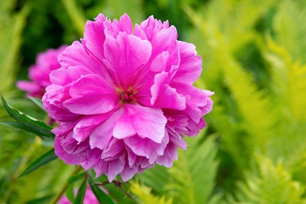 Roze pioenbloem die in een tuin bloeit