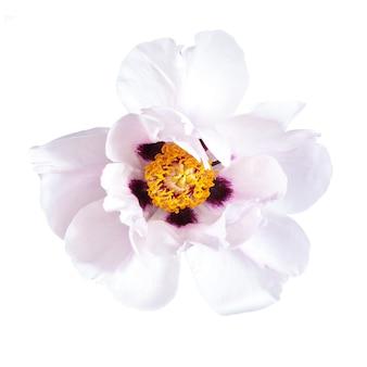 Roze pioenbloem die op witte achtergrond wordt geïsoleerd