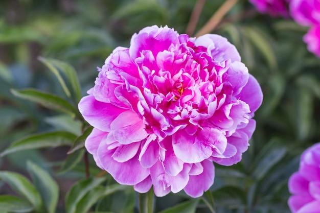 Roze pioenbloem