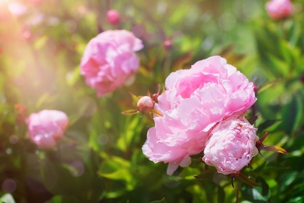 Roze pioenroos bloemen