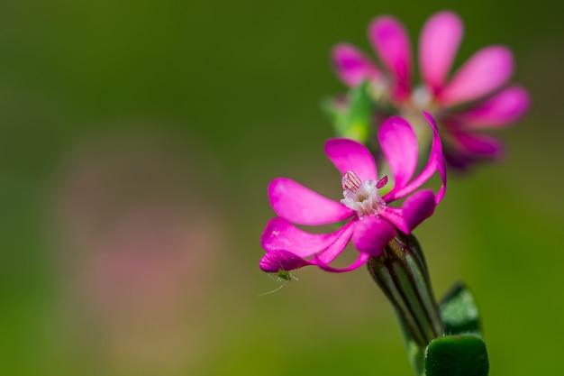 Roze pirouette, een kleine roze bloem, met een klein insect onder één bloemblad
