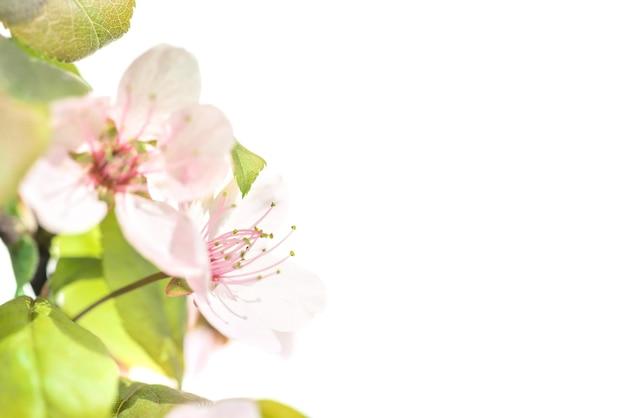 Roze pruim bloemen met groene bladeren geïsoleerd op een witte achtergrond