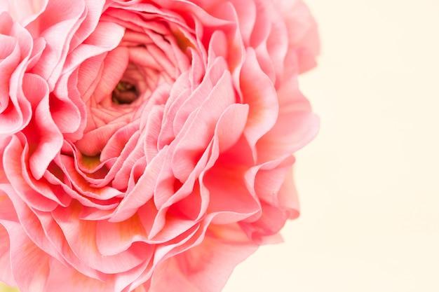 Roze ranunculus bloem