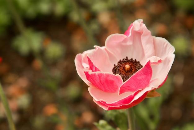 Roze ranunculus-bloemen die in tuin op een zonnige dag groeien. fucsiabloem van de close-up.