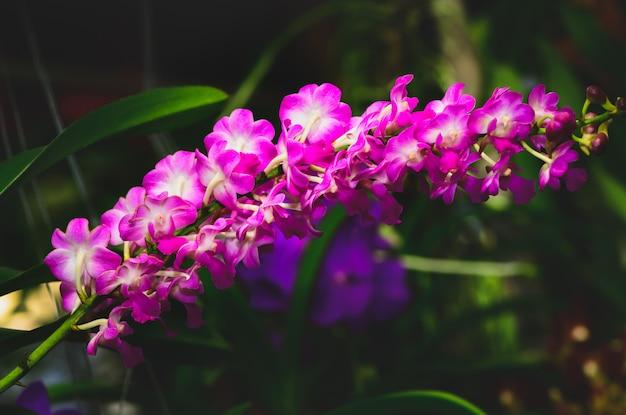 Roze rhynchostylis in tuin, orchideebloem