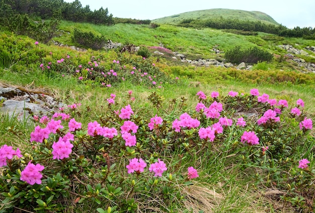 Roze rododendron bloemen op zomer berghelling (oekraïne, karpaten)