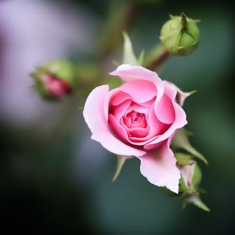 Roze roos bonika in de tuin perfect voor achtergrond wenskaarten voor verjaardag valentijnsdag en