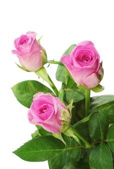 Roze roos close-up geïsoleerd op white