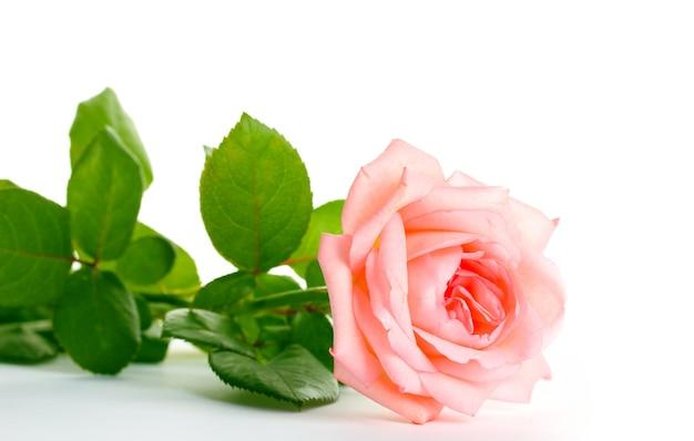 Roze roos geïsoleerd op wit