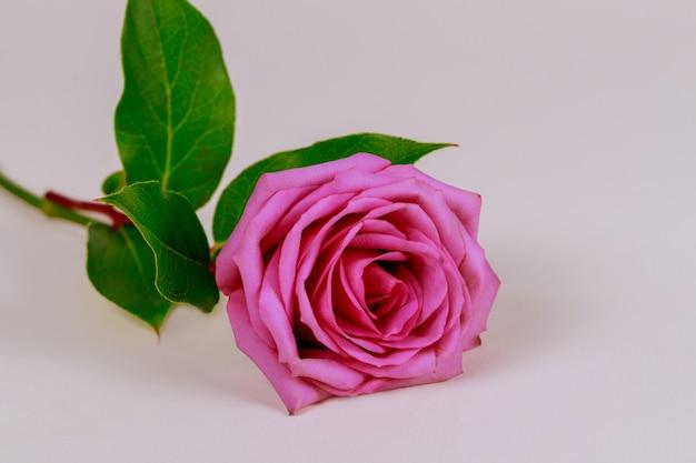 Roze roos met bladeren geïsoleerd op een witte ondergrond