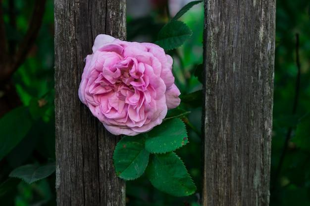 Roze roos op een houten hek
