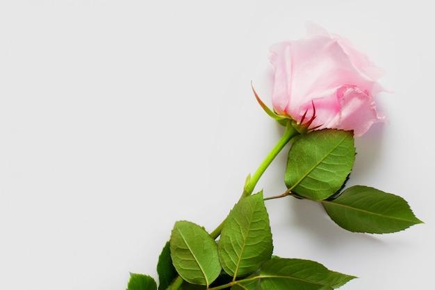 Roze roos op een witte muur, met plaats voor tekst, met kopie ruimte. concept zachte muren met bloemen, muren voor bloemenwinkels, bruiloftsteksten, ondergoed en parfum.